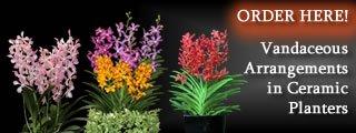 Vandaceous Arrangements in Ceramic Planters